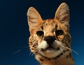 Serval Kitten looking into lens