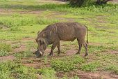 Common Warthog In The Savannah