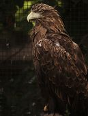 Sitting eagle portrait. Zoo.