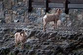 Bighorn Sheep Near The Road