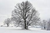 Tree In Winter