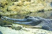 False Gharial (tomistoma Schlegeli)