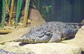 Siamese Crocodile (crocodylus Siamensis)