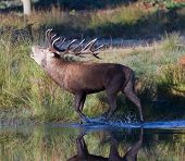 Red Deer Stag Bellowing