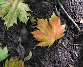 An autumnal sycamore leaf lying on the ground