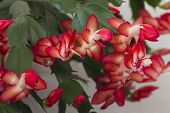 stock photo of schlumbergera  - A beautiful christmas cactus is flowering with red pink flowers in bloom - JPG