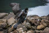 Great Cormorant In Seydisfjordur4