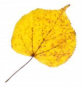 Linden yellow leaf isolated on white