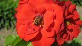 Bee on the bright red roze