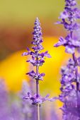 foto of clary  - Salvia sclarea Flowers herb blooming in a garden on softly blurred background in the garden - JPG