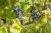 Plantation of grape