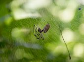 picture of spiderwebs  - Common countryside spider in Cuba harmless insect in its spiderweb