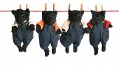 stock photo of scottish terrier  - litter of scottish terrier puppies hanging on a clothesline  - JPG