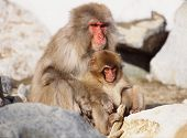 picture of baby-monkey  - monkeys - JPG