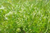 Medicinal plant: White sweet clover