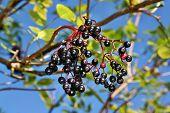 foto of elderberry  - Growing elderberry fruits on a background of blue sky  - JPG
