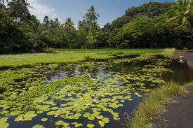 picture of sand lilies  - A view of the pond in Punaluu withwater lilies - JPG