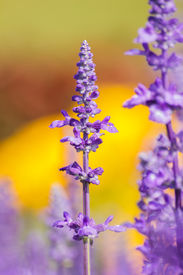 picture of clary  - Salvia sclarea Flowers herb blooming in a garden on softly blurred background in the garden - JPG