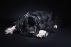 image of newfoundland puppy  - adult Newfoundland in studio by the fireplace - JPG