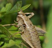 Dark Bush-cricket