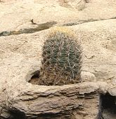 barrel cactus in sand