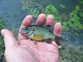 pic of bluegill  - Photo of a small fish in the palm of a hand - JPG