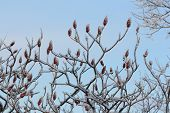 Staghorn Sumac and Ice