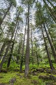 image of himachal pradesh  - Beautiful deodar forest in Manali Himachal Pradesh India - JPG