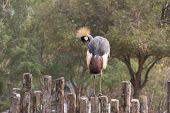 Beautiful Crested Crane Bird
