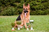 German Sheepdog With Cups Sitting On The Grass