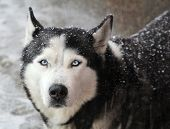 pic of laika  - Portrait of dog husky in a snow on a winter day - JPG