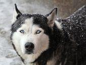 image of husky  - Portrait of dog husky in a snow on a winter day - JPG