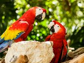 Close up Of Scarlet Macaw Parrots