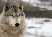picture of wolf-dog  - Close up - JPG