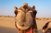 picture of desert animal  - Camels in Thar desert Jaisalmer city in Rajasthan state of India - JPG