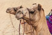 foto of camel  - Camels in Thar desert Jaisalmer city in Rajasthan state of India - JPG