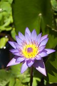 A Purple and Yellow Lotus