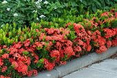 image of plant species  - Red Ixora coccinea hedge is a species of flowering plant in the Rubiaceae family - JPG