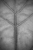 Structure Of Plant Leaf Close-up In Monochrome