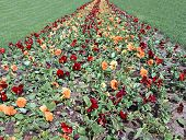 Path Of Blooming Flowers The Brown And Orange Pansies