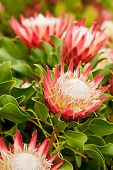 King Protea Flowers