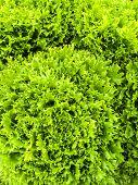 Curly Green Lettuce