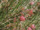 Grevillea brachystachya blossom