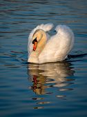Impressive Male Swan On Sunlit Lake