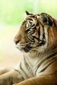 Tiger portrait closeup