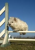stock photo of west highland white terrier  - jumping West Highland White Terrier in a training of agility - JPG