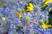 Blue Sea Holly Background