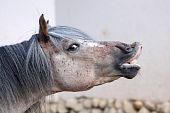 lächelnd Pferd
