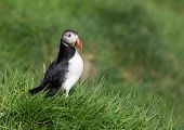 Common Puffin in green grass.