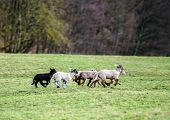 Cute Lambs With Adult Sheeps In The Winter Field